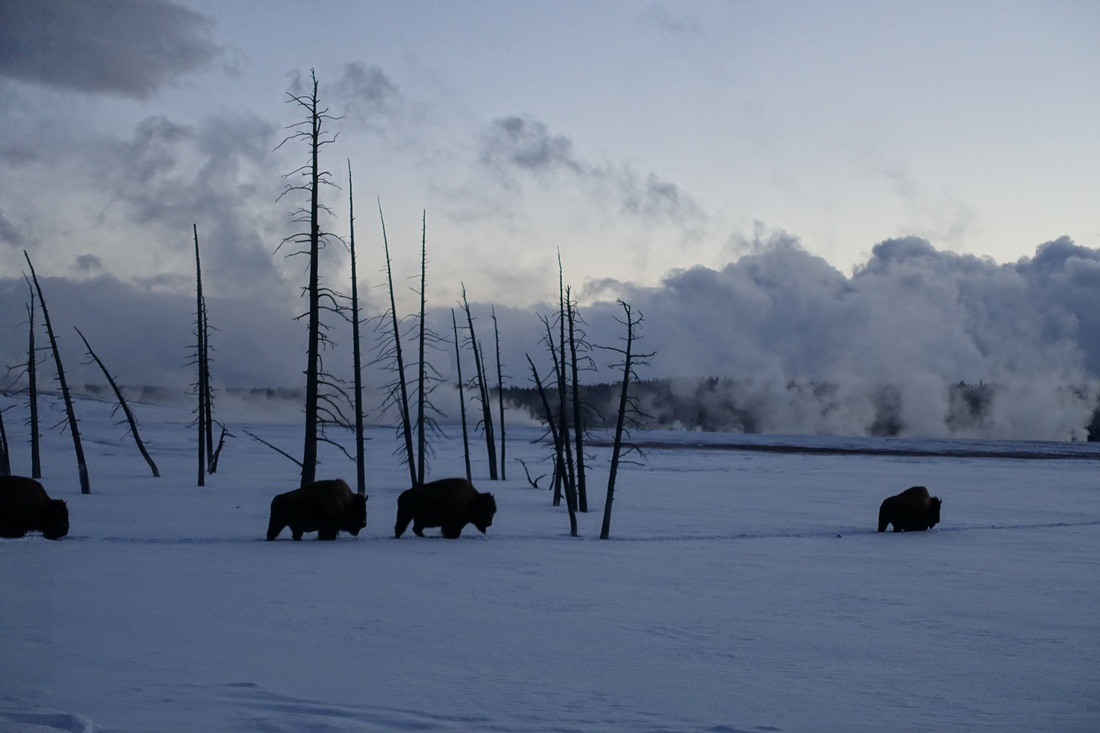 Bison walking single file through the deep snow