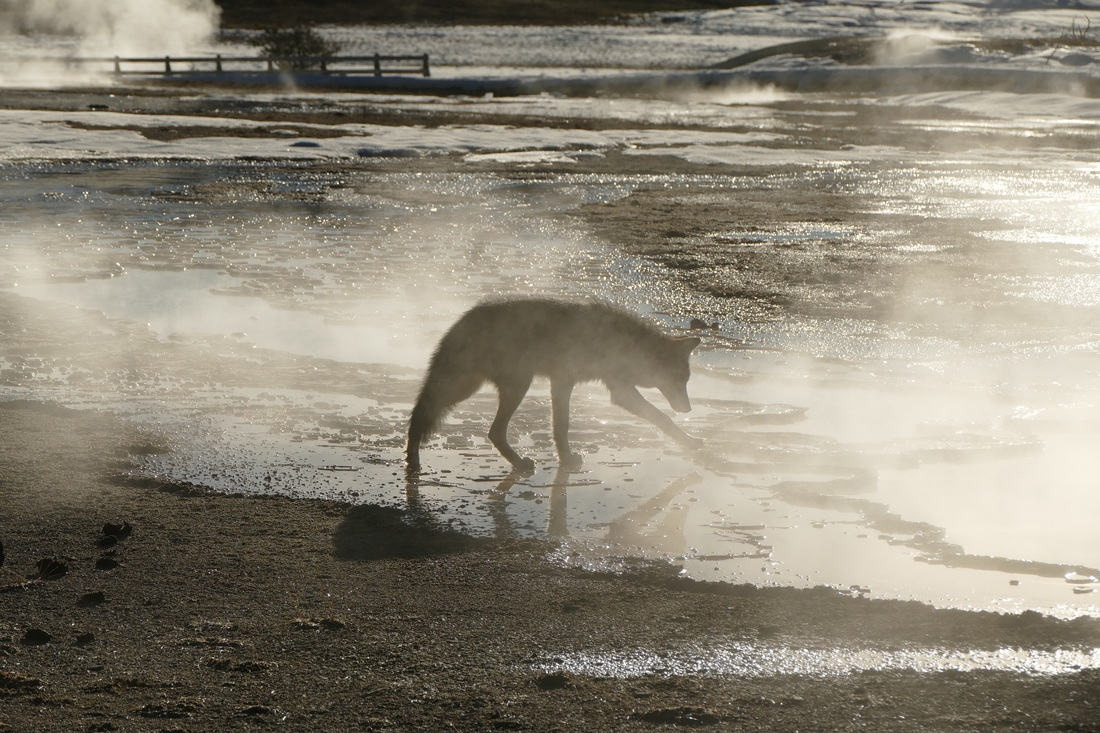 Coyote testing the water temperature in Yellowstone