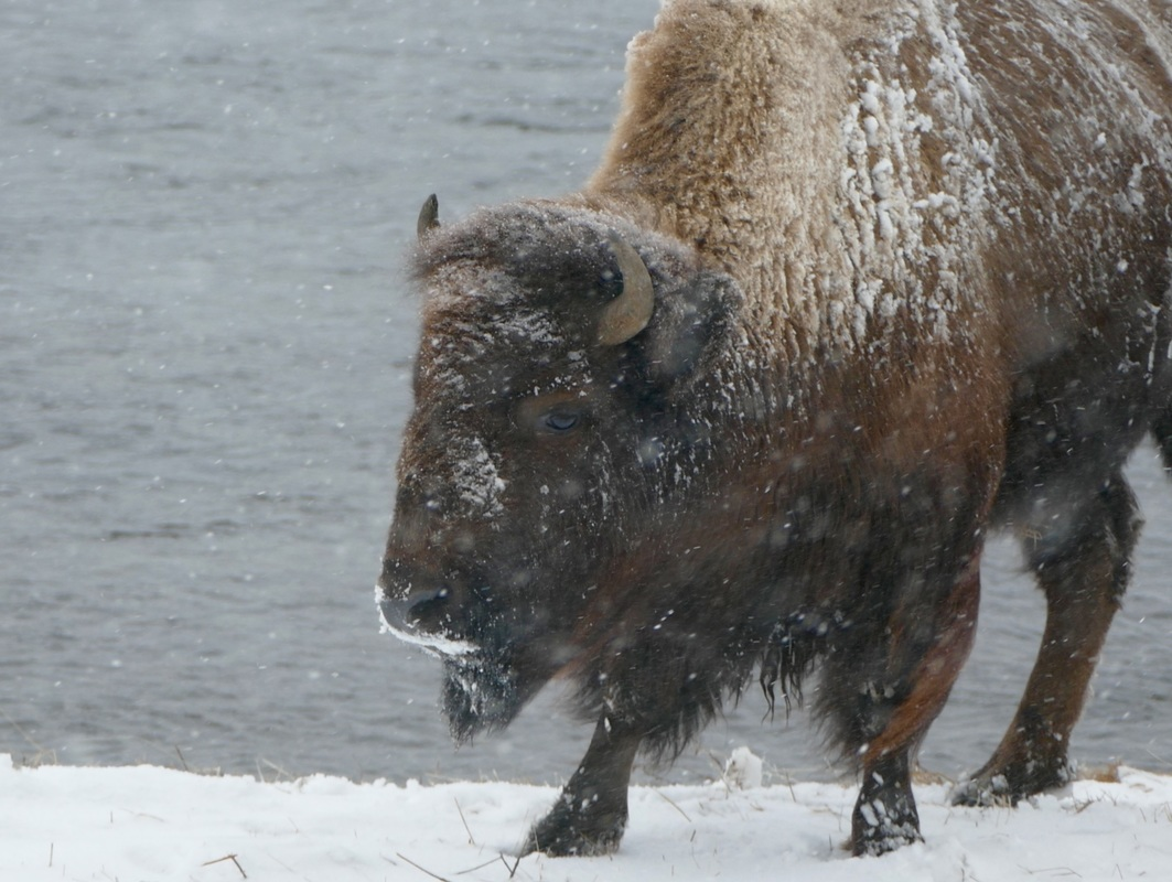 Snowy bison in yellowstone park in the winter
