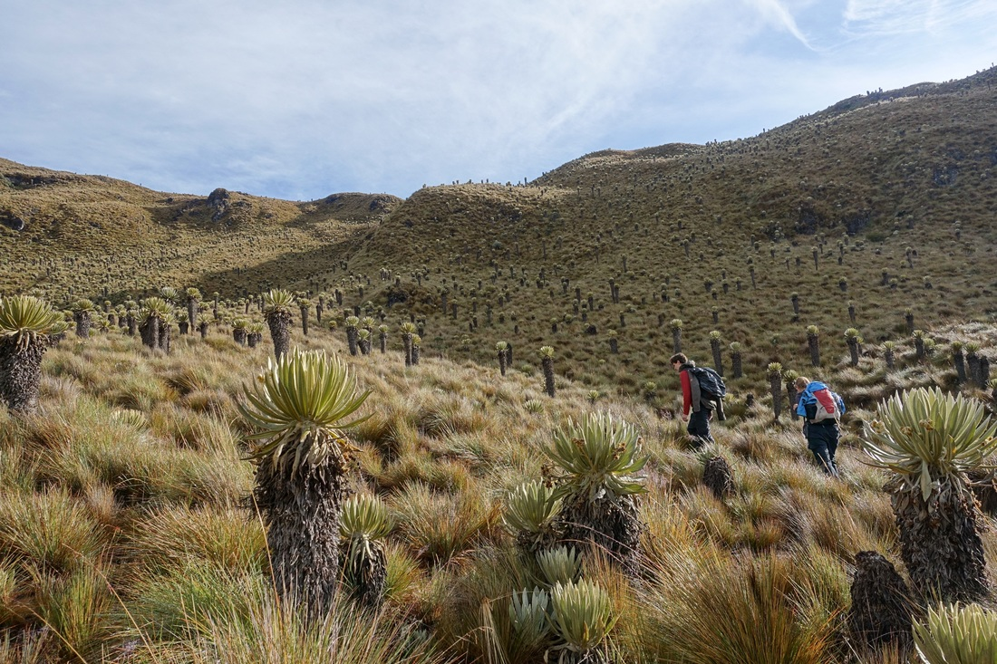 Frailejones on the Los Nevados National Park hike in Colombia