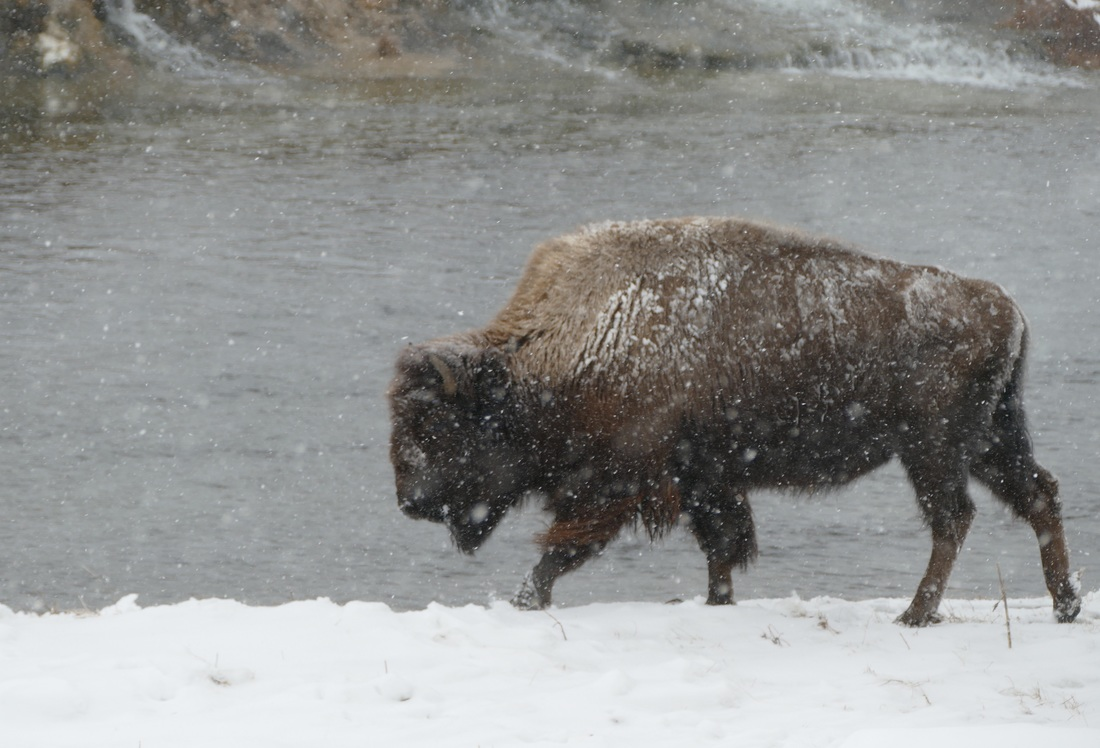 Bison walking in snowstorm