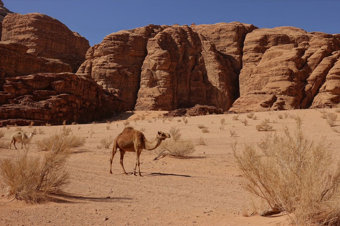 Camel on a backpacking trip in Wadi Rum