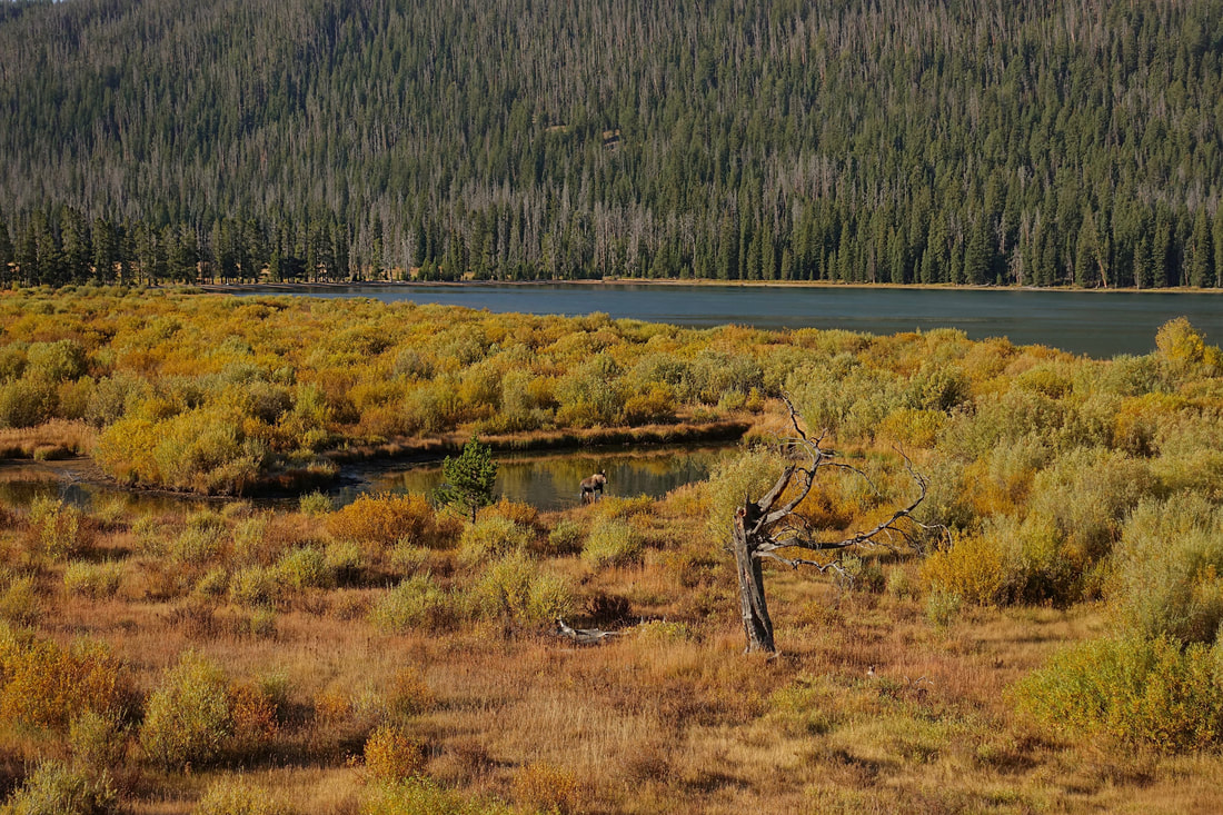 Moose going for a morning feeding at Green River Lakes Wyoming