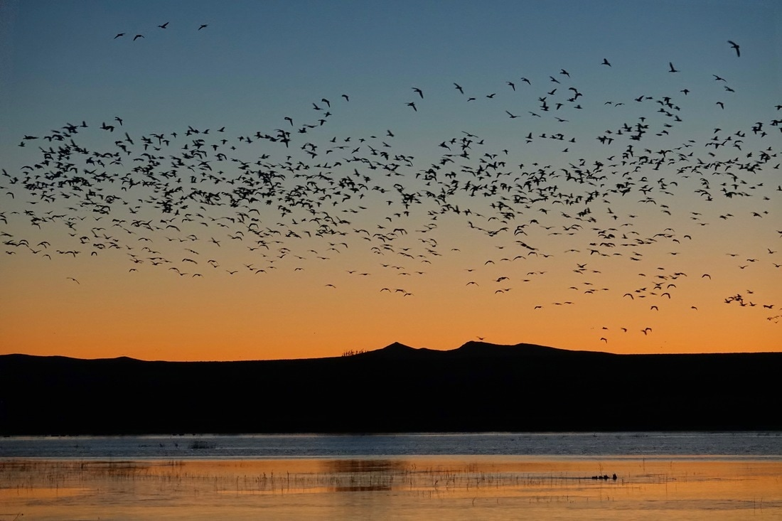 Snow geese in Bosque del Apache refuge in New Mexico