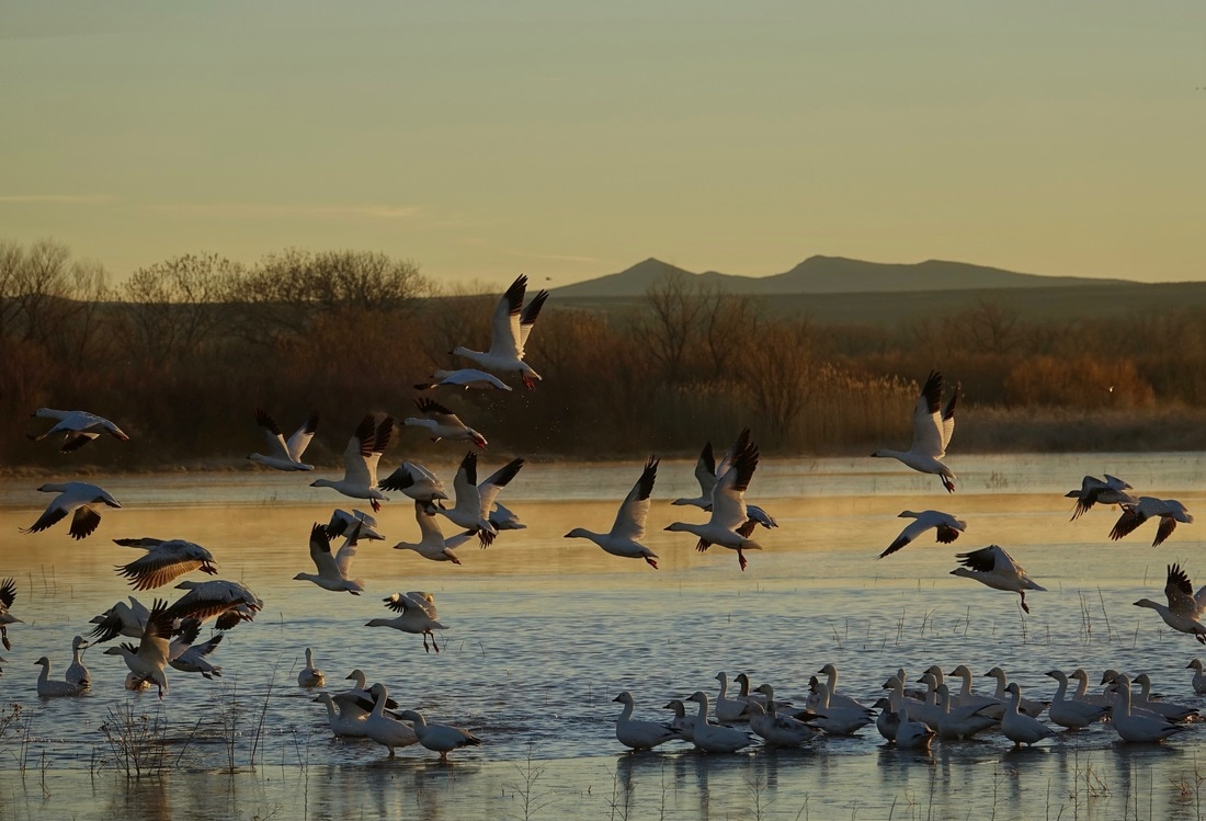 Snow geese taking off from the lake in the morning