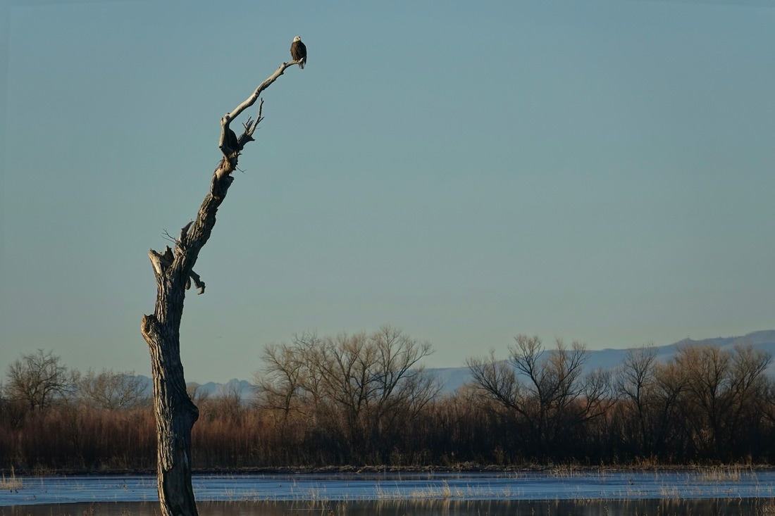 Eagle in Bosque del Apache New Mexico