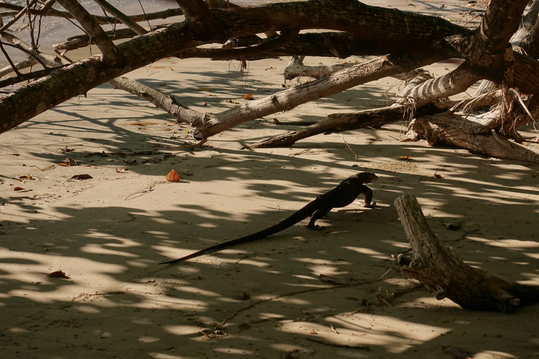 Goanna on the beach
