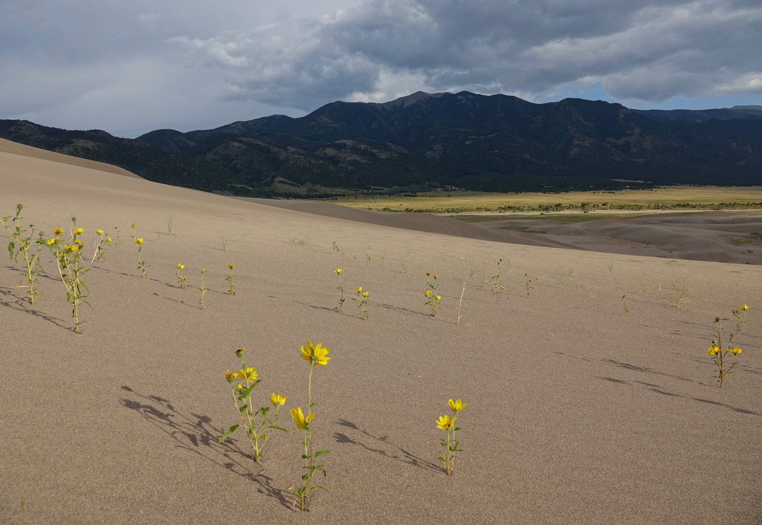 Sunflowers in bloom in September at Great Sand Dunes national park
