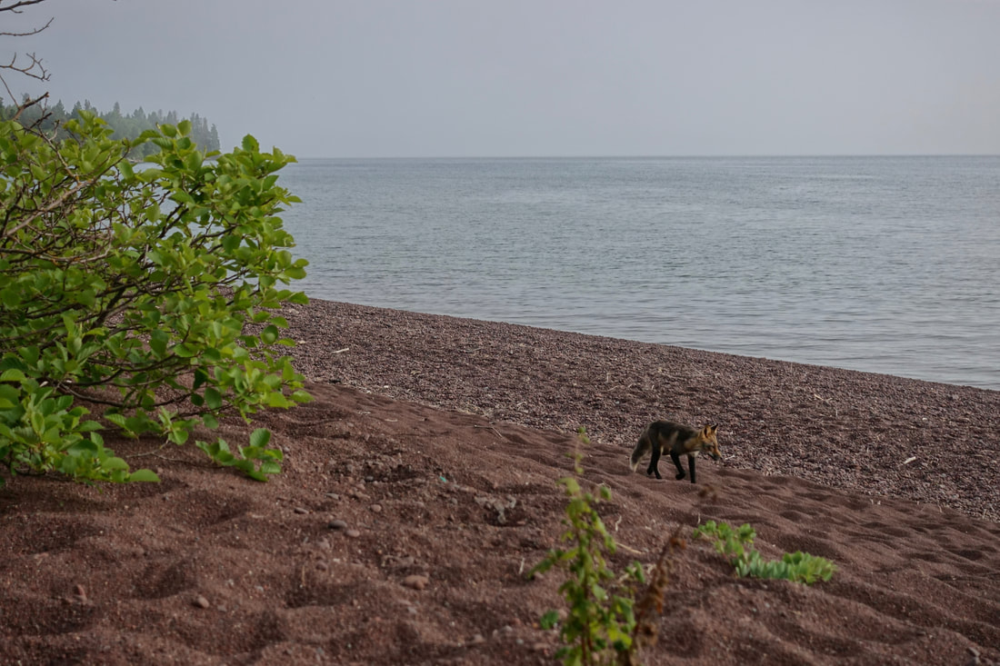 Fox at Rainbow Cove on Lake Superior at Isle Royale National Park