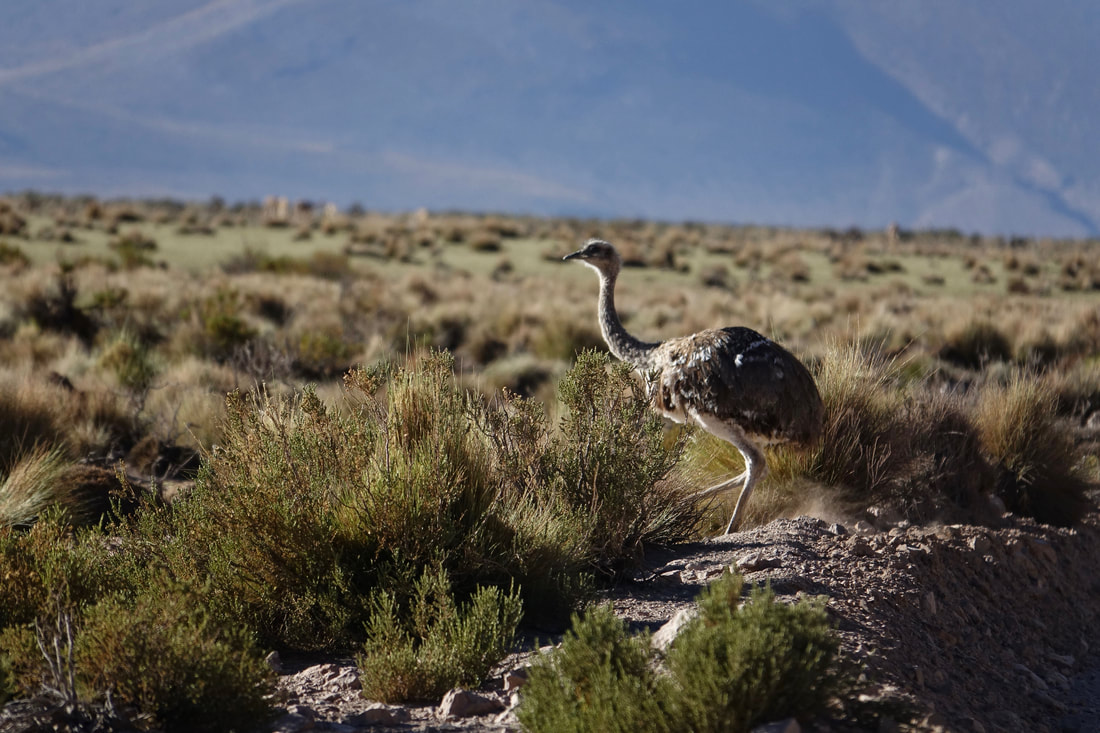 Lesser Rhea in the altiplano of Chile