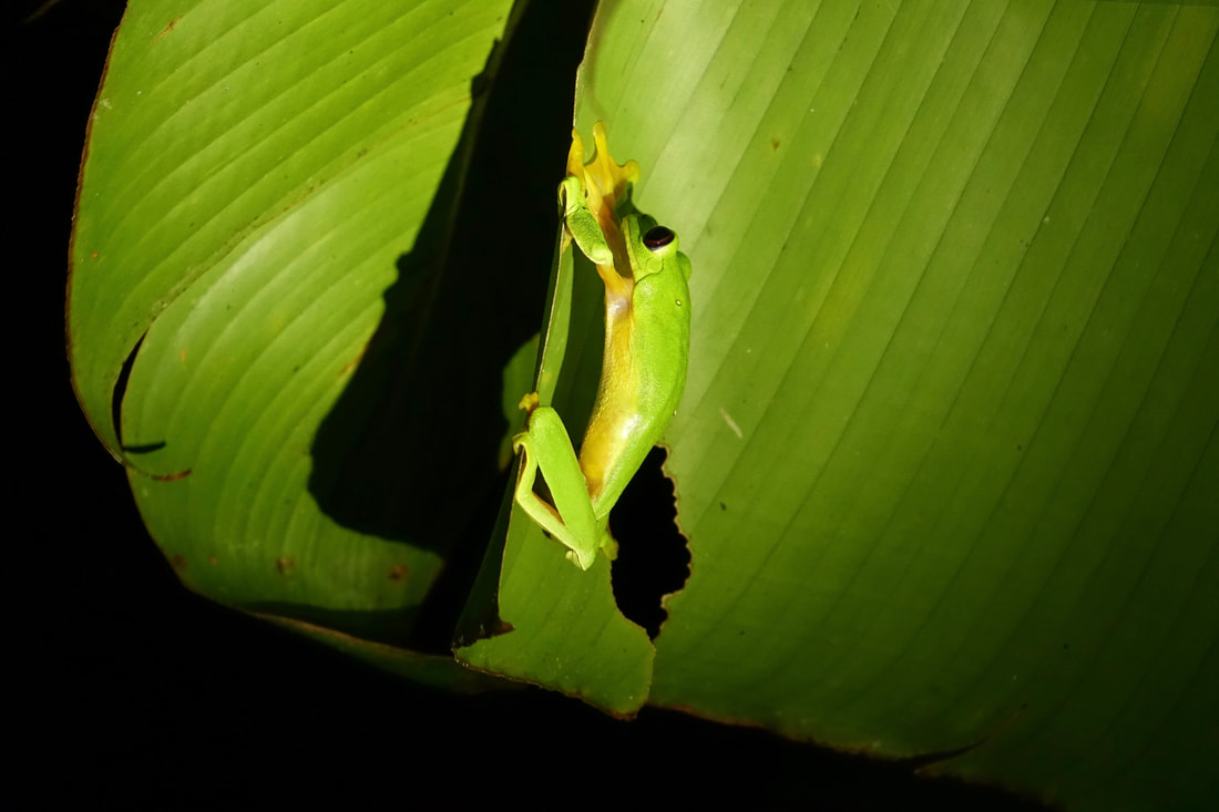 Tree frog on a night walk