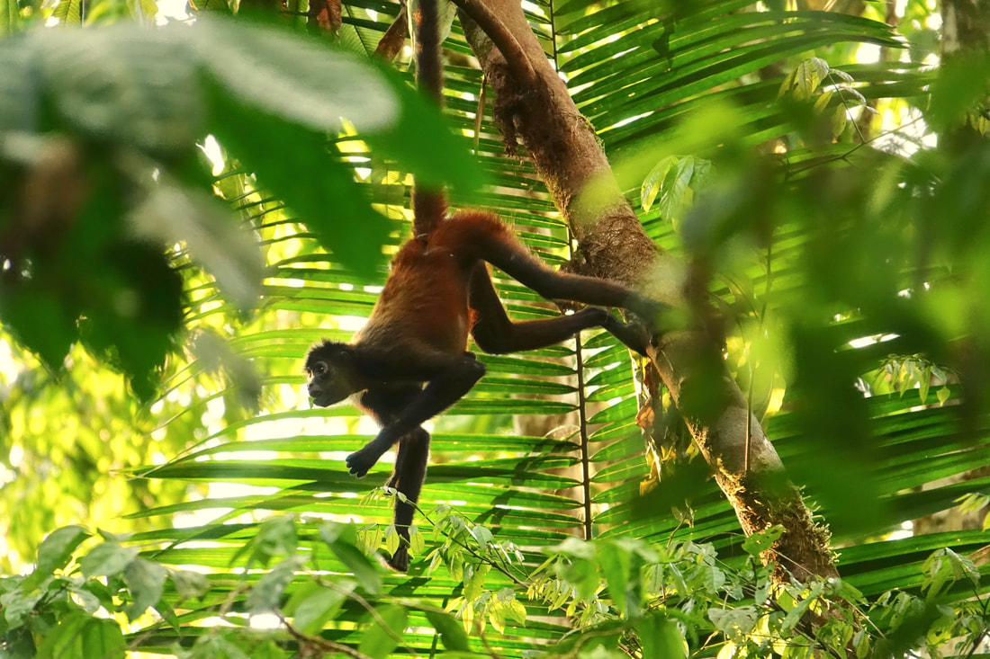 Spider monkey on the Corcovado National Park hike in Costa Rica