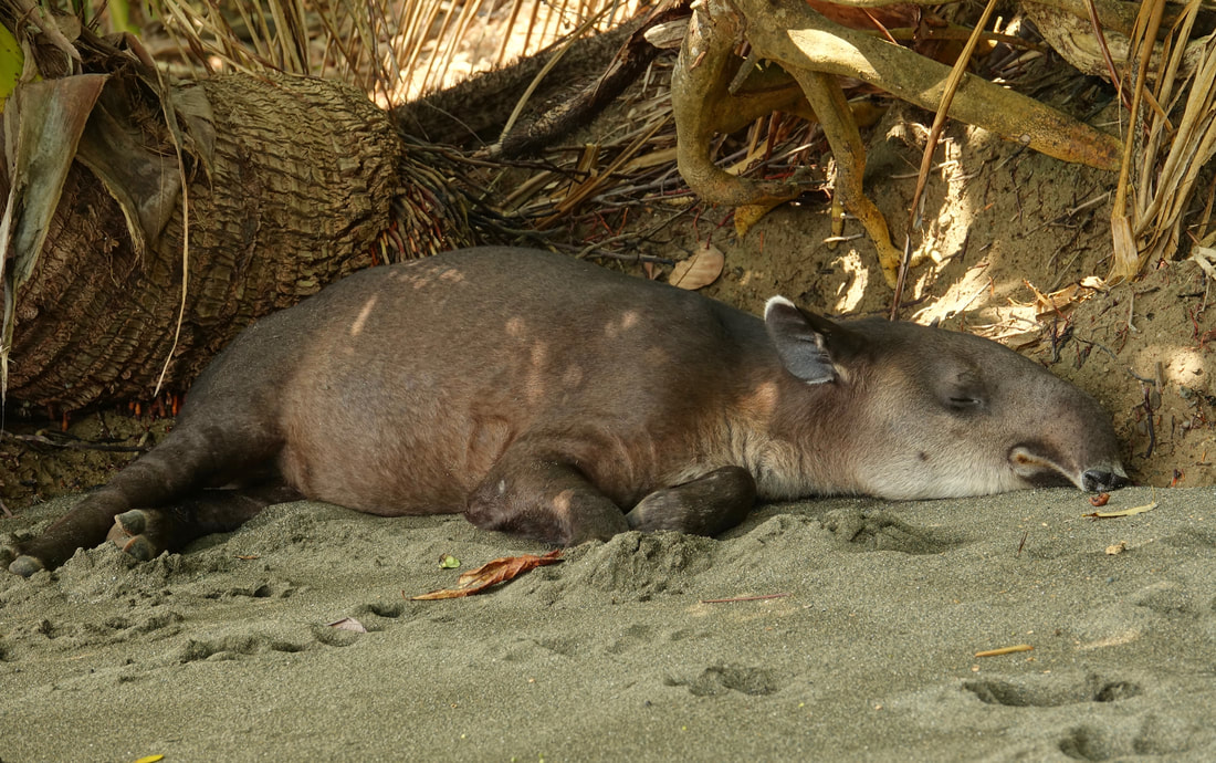 Tapir taking a nap on the beach