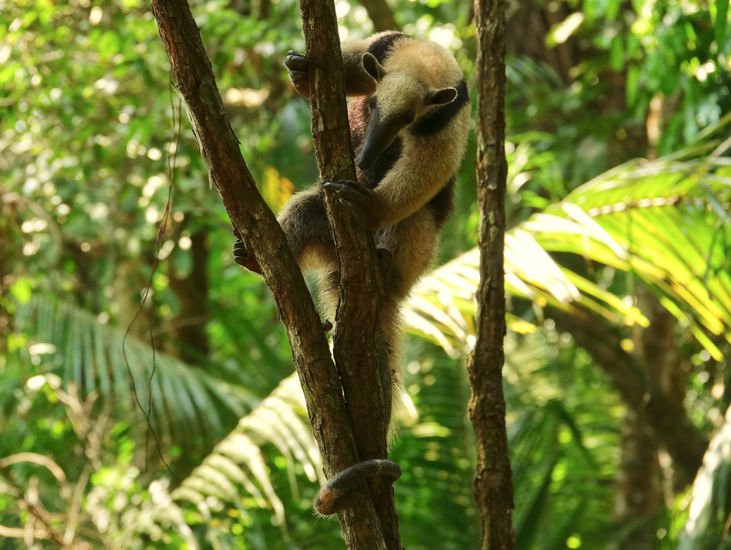 Anteater in the trees in Corcovado