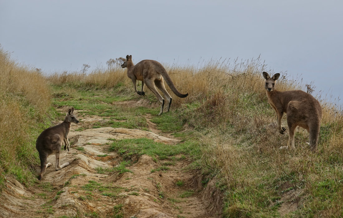 Kangaroos on the road walk
