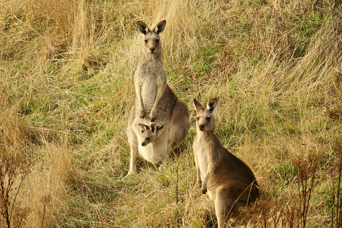 Kangaroos on the Great Ocean walk near the campground