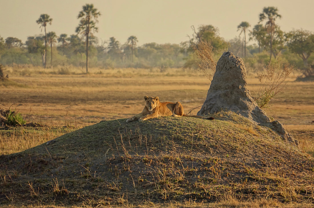 Lioness on walking safari with Oddballs on Chief's Island in the Okavango Delta of Botswana in the Moremi Game Reserve
